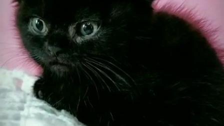 南京客栈猫舍苏格兰折耳猫 折耳猫 宠物猫咪 黑色短毛猫