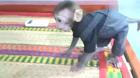 """主人喂小猴子吃小香蕉,小猴子咬一口就跑开的样子好""""敷衍""""!"""