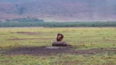 """""""疤面煞星""""吃河马,这头狮王曾打败无数入侵者"""