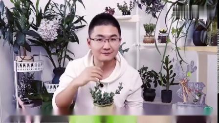 多肉植物鹿角海棠,叶子有皱褶怎么破?