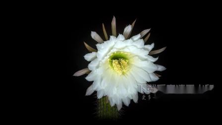 v284 2k画质超唯美仙人球仙人掌开花延时摄影白色花朵鲜花盛开视频素材