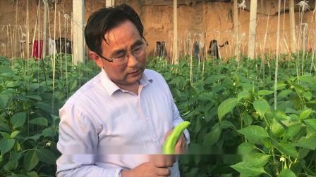 辣椒盛果期管理4辣椒病虫害防治大棚有机蔬菜种植技术辣椒高产种植能致富