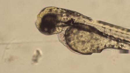 显微镜下观察斑马鱼心脏跳动
