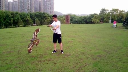 小黄练鹰--起手基础动作1
