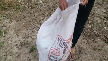 农村小伙野外制作的捕鸟陷阱,一会儿就能抓一只鸽子,有宠物养了