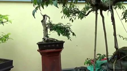 这盆番石榴树桩制作成的盆景,树干弯曲,苔藓植物的点缀,好美!