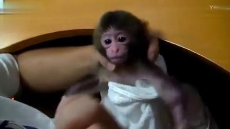 主人恶搞小猴子,下一秒小猴子动作反应,笑喷
