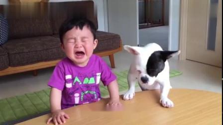 狗狗抢了小主人的饼干,小主人气的大哭,狗狗的表现让人惊讶!