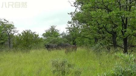狮群准备享用刚抓的野牛,却来了一头母狮子,改写了野牛结局