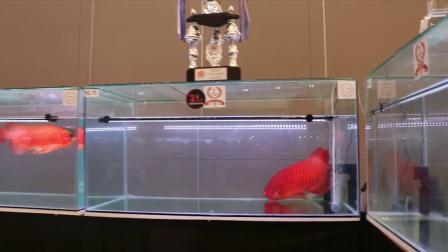 从国内外龙鱼大赛规则看龙鱼养法 周鱼说鱼第八期血统与养法2节选