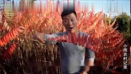农村小伙带你看秋天的痕迹,水灵的萝卜,白白的棉花,红红的枫叶