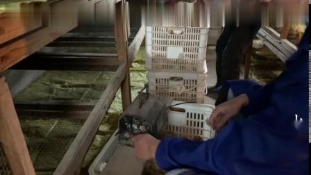 农村小伙回家养鸡,1000多?#24576;?#40481;这样断喙,虽然残忍但对鸡很好处