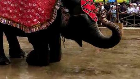 会表演的大象泰国象出租表演展示马戏团大象表演节目有灵性的大象泰国进口大象出租缅甸听话的大象租赁表演给人骑的大象出租表演