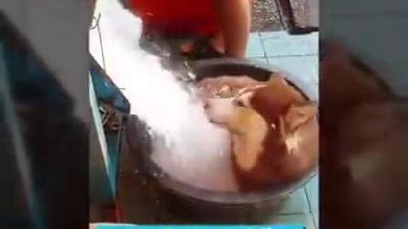 泰国天气太热了,主银就把冰倒在二哈身上凉快凉快,老板,来一碗哈士奇刨冰