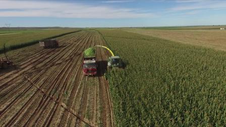 青贮玉米垦单8号