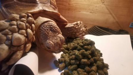 苏卡达陆龟成长记