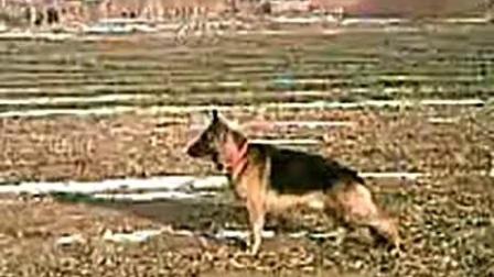 视频: 我家的警犬卡尔