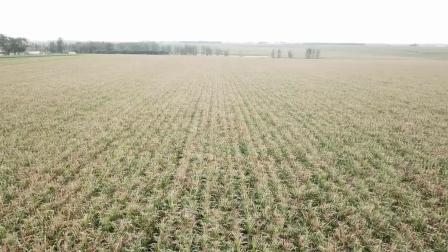 航拍视角看玉米乳熟期