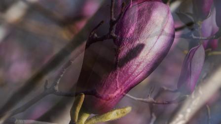 河西 西柳公园拍玉兰花