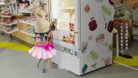 神奇伙伴在哪里一只嗜甜如命的法斗,看到蛋糕激动到踮起jio尖跳芭蕾~猩猩过来强行扯狗腿拖走……