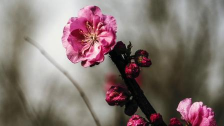 天津大道 的榆叶梅开了