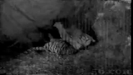 狮子比老虎强大太多,老虎被狮子打得仓惶逃命。
