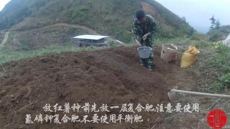红薯种植育苗正片
