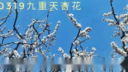 九重天踏青赏杏花