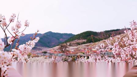 夏庄樱桃花