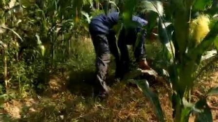 玉米地里种植天麻