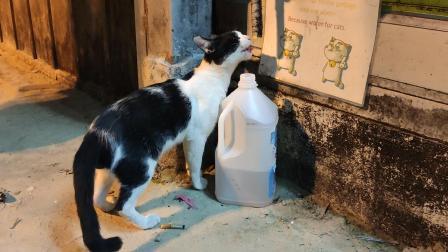 皮皮岛岸边的猫咪。