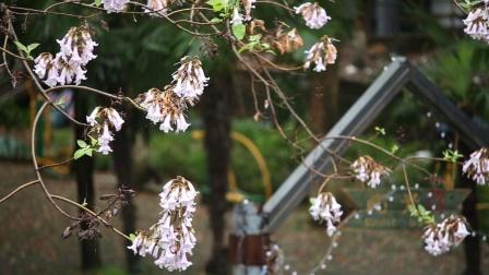 雨中小酒馆窗外的梧桐花开