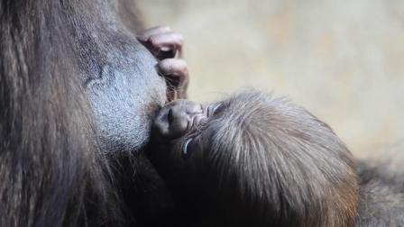 巴伦西亚动物BIoparc黑猩猩宝宝出生一周啦