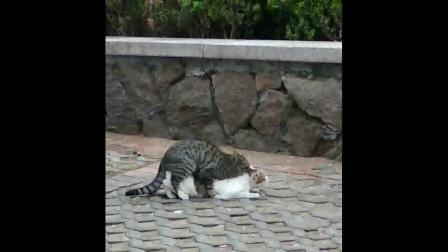 猫发情了是怎么样的?
