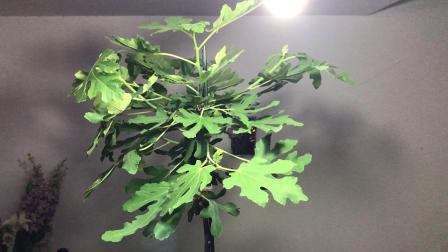 无花果扦插苗培育成树型,果子好吃还更好看!