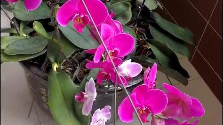 《蝴蝶蘭》