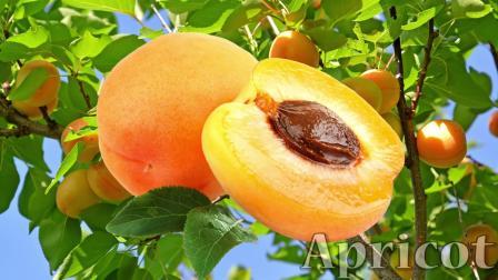 宝宝学英语,教宝宝认识黄色的水果,杏子,柚子,柠檬,英文发音