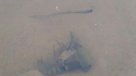 小龙虾蜕壳全过程