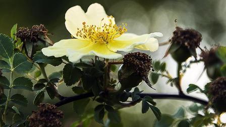 天津外环河公园 拍摄的黄刺玫