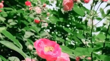 花卉欣赏:短短的视频组合(一)