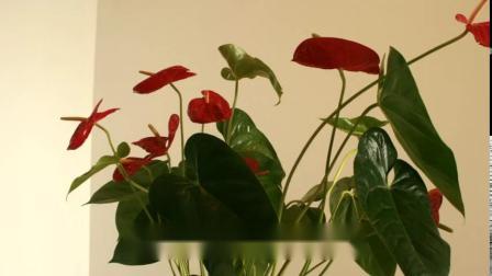 花卉欣赏:美丽的红掌花