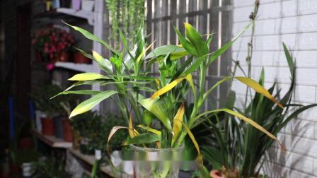 富贵竹叶子发黄,水里扔1片它,叶儿绿油油,根儿爆着发
