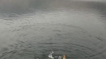 草鱼打窝料配方 野钓鲤鱼商品饵料图片 中药阿魏的功效与作用