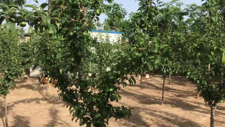 陕西黑布林李子果园7月初开始上市开卖了