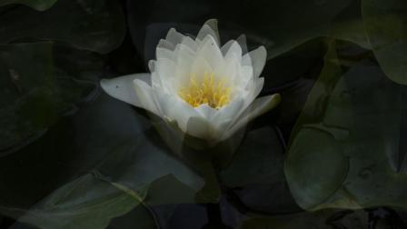 西柳公园【风景 睡莲】1