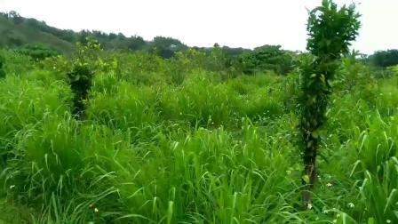 01.无农药化肥 自然生长 不用除草的天然食物