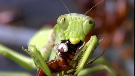 当饥饿的螳螂遇到大量的蟑螂的时候...为什么我咽了一下口水