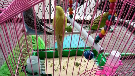 我家虎皮鹦鹉三小只-尾巴拉扯&亲嘴