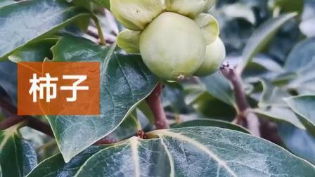 辰枫园林:盆栽山楂,苹果树,柿子树,梨树,石榴树盆景