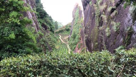 武夷岩茶:牛栏坑肉桂山场